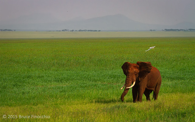 A Large Bull Elephant Feeds On The Luscious Grass Of The Silale Swamp