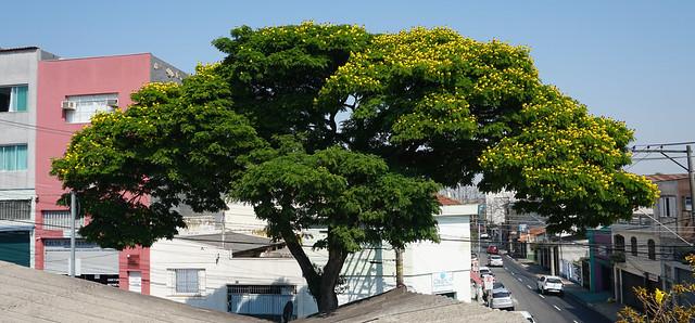 Our Glorious and Proud Sibipiruna, São Caetano do Sul, São Paulo, Brasil.