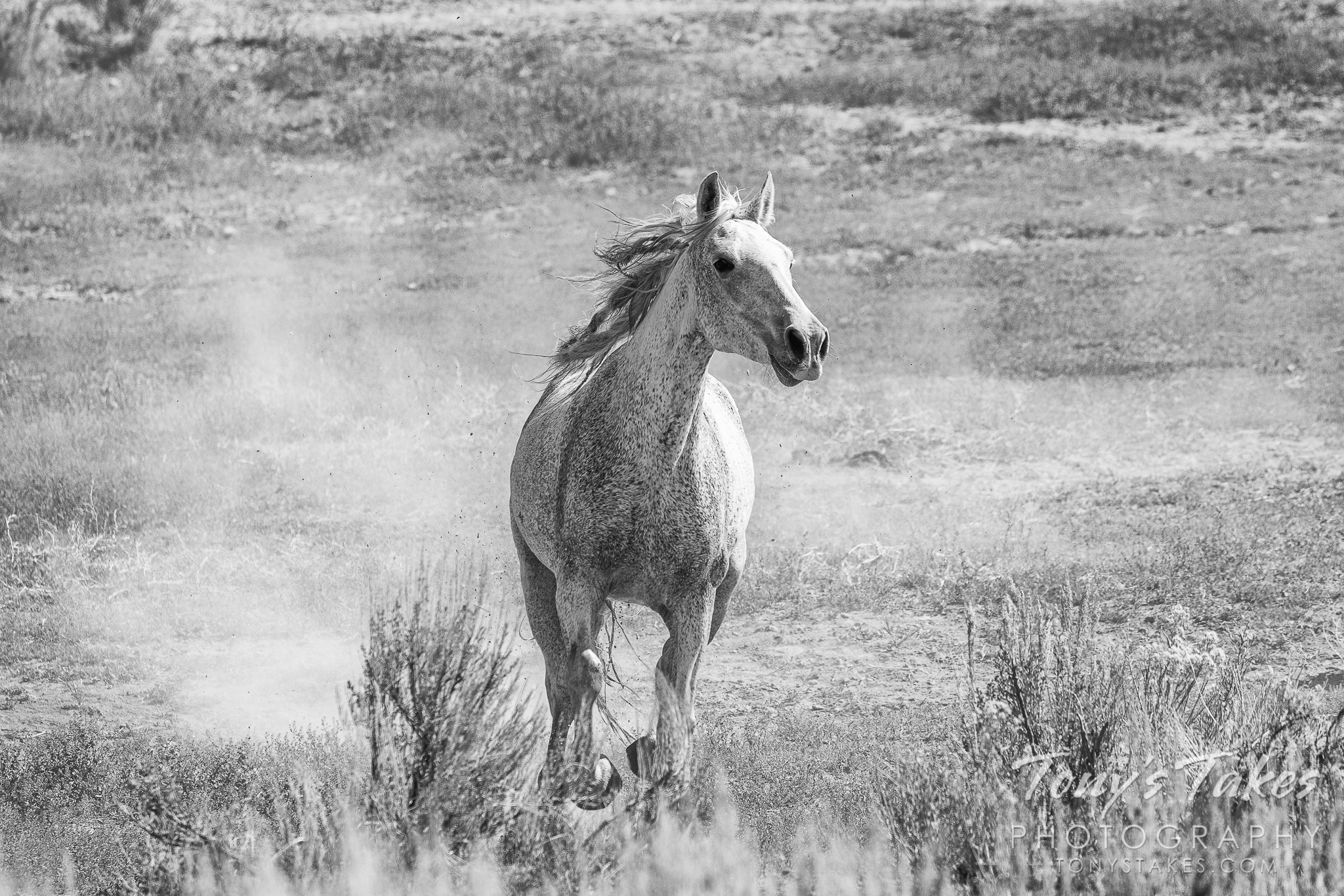 Stallion on the run in black and white