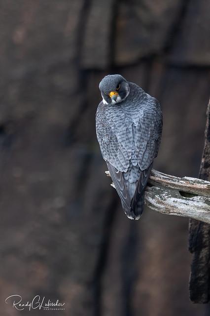 Peregrine Falcon - Falco peregrinus | 2020 - 18