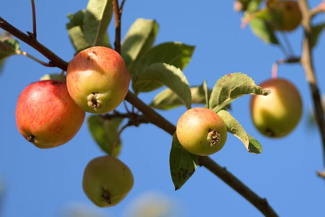 Morgensonne im Apfelbaum
