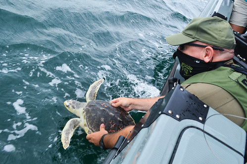 Photo of Natural Resources Police officer releasing sea turtle into the water