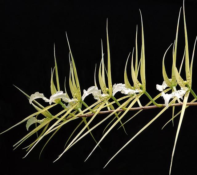 2019-06-19 Brassia verrucosa - BG Teplice