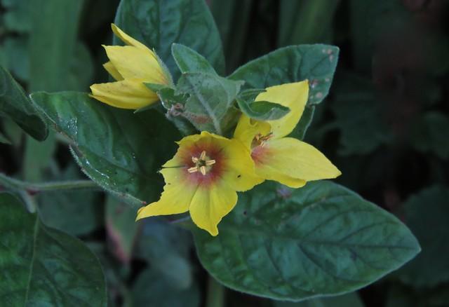 5244 Yellow Loosestrife - Lysimachia punctata
