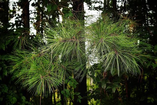 """""""Southern Pine ('Pinus taeda')"""""""
