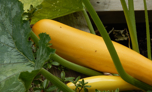 Squash in the form of yellow zucchinis in a garden