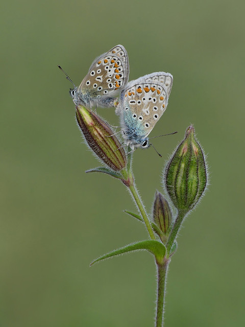 Mating pair of Common Blue Butterflies (probably 3rd brood). No cropping.