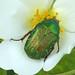 Gemeiner Rosenkäfer (Cetonia aurata)