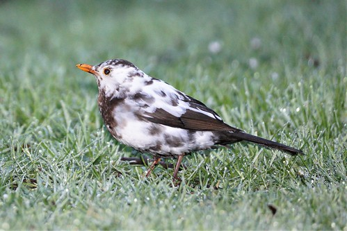 <p>This young lady has been hanging around the neighbourhood.  Blackbirds are common as muck but this one apparently has leucism, a partial loss of pigmentation but not to the extent of albinism.</p>