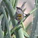 Verdin in Aloe