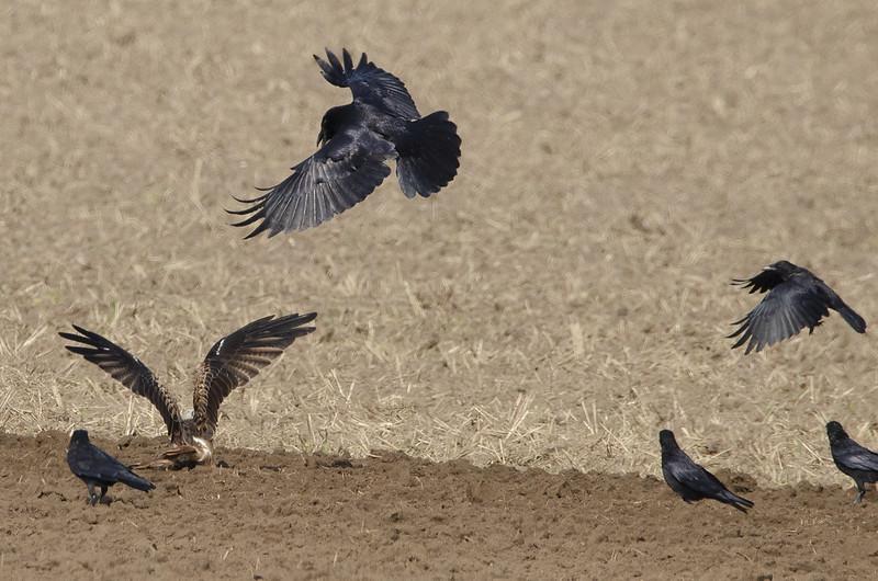 Streit zwischen Rotmilan und Rabenkrähen