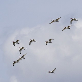 One of my favorite Florida sites: Gang of Ibi Fly-By! More commonly known as a: flock of ibis in the sky. | by luciwest