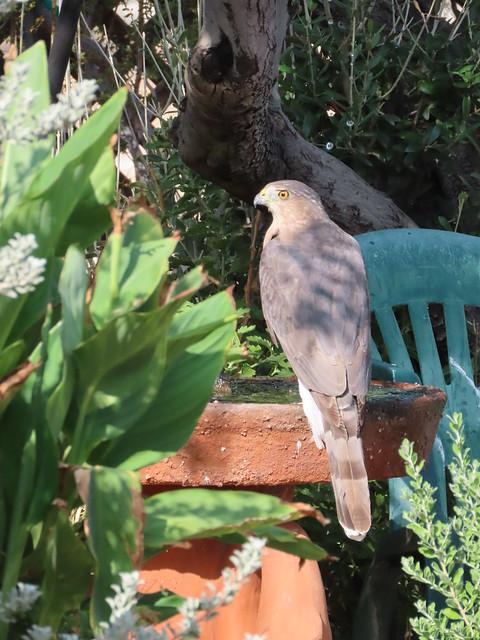 Light Colored Hawk On Birdbath