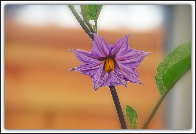 Flower Of The Day - Aubergine (Vegetable) Flower