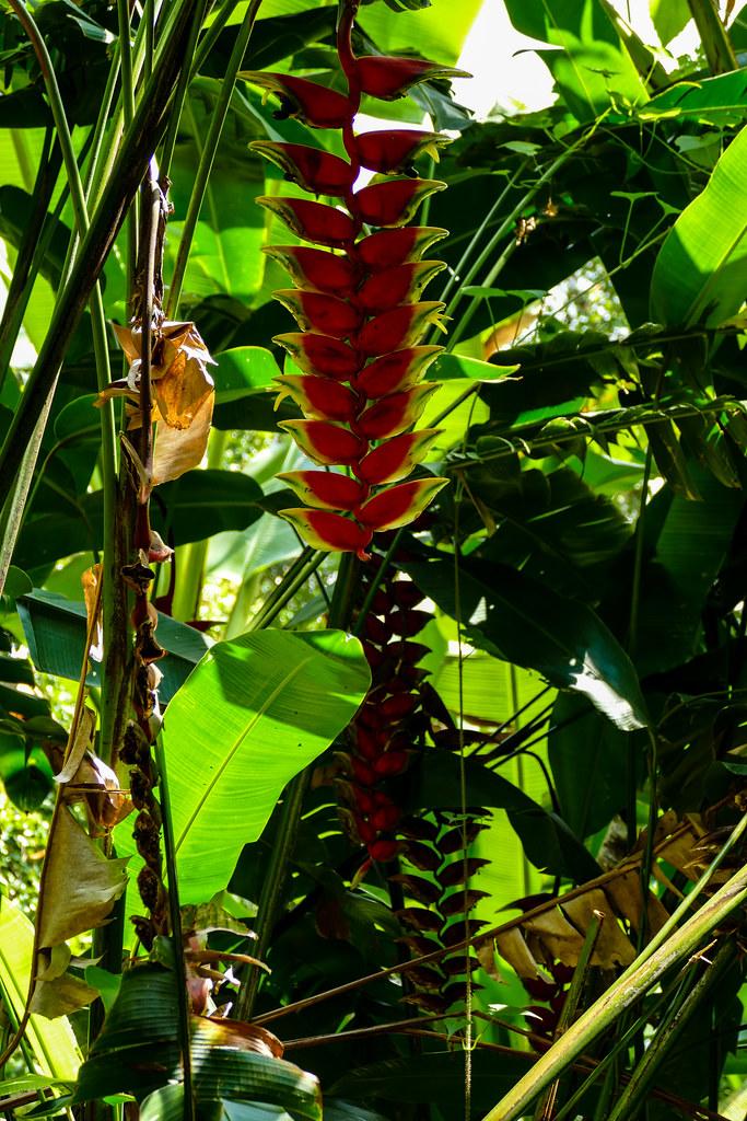 Heliconia rostrata. Gesehen Nähe Munduk, Bali, Indonesien