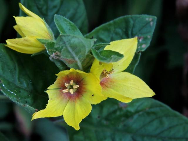5247 Yellow Loosestrife - Lysimachia punctata