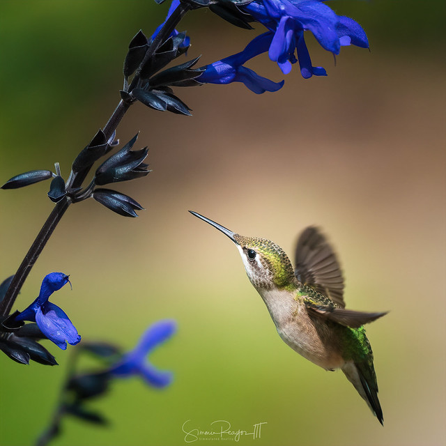 Female Ruby-Throated Hummingbird Feeding V