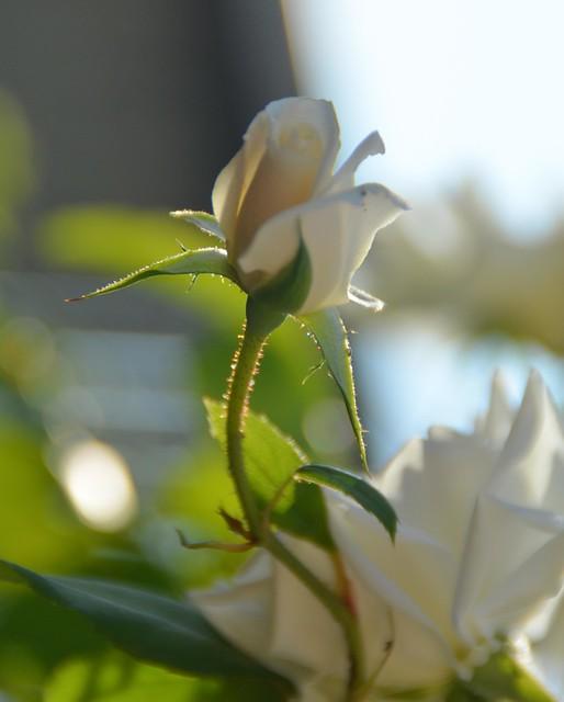 Rosa bianca in controluce