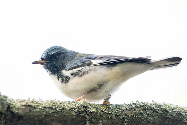Black-Throated Blue Warbler at Long Point