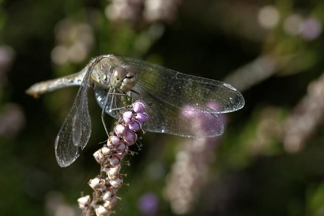 Sympétrum strié femelle - Sympetrum striolatum