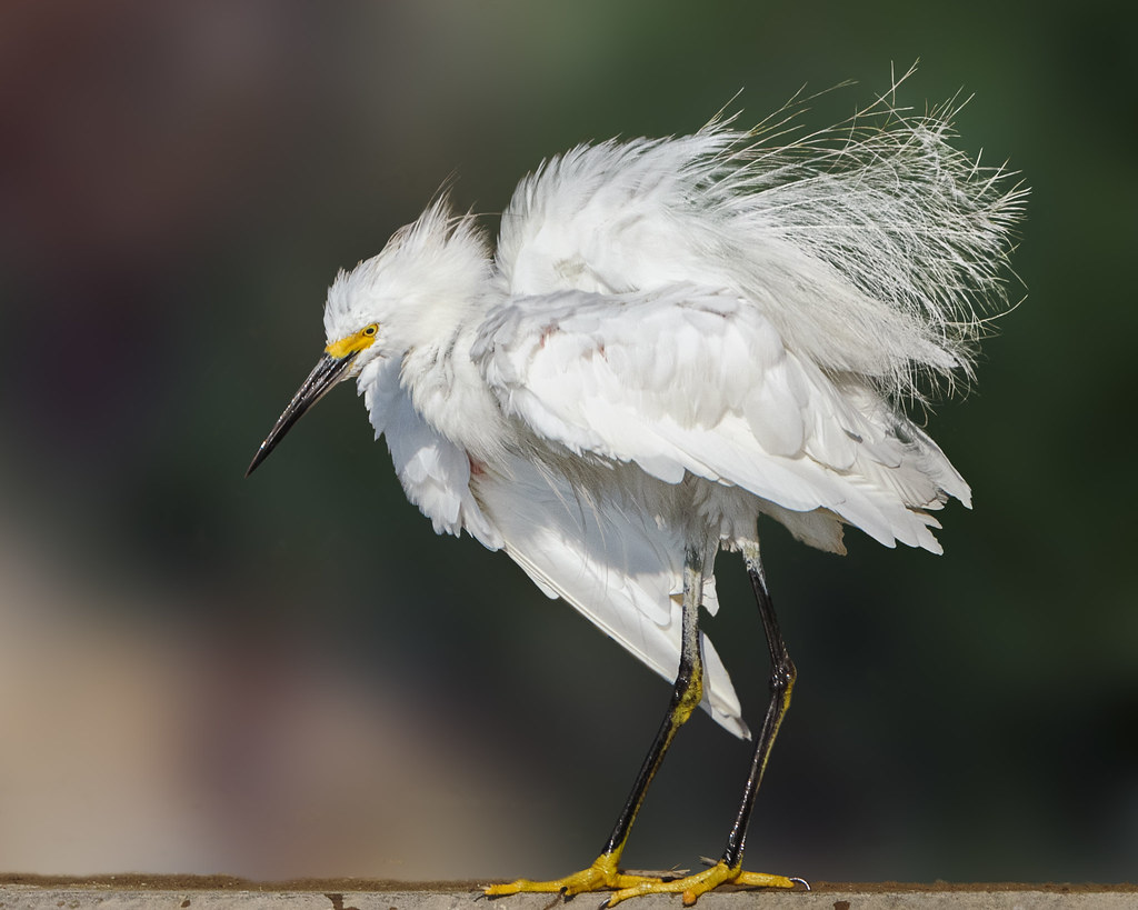 Wing Stretch with Fluff