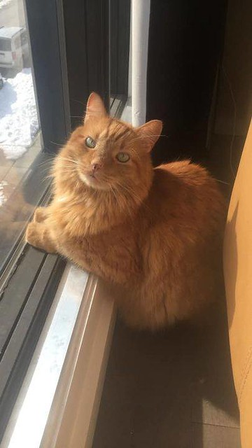 LOST dmh orange tabby cat in #canmore since Sep 14. Call 403-819-7009 if sighted/ found. Pls rt, share, watch, help find TOM! I know this isnt in calgary but cat missing in canmore, but I am hoping for a positive outcome. my dads cat has gone missing for