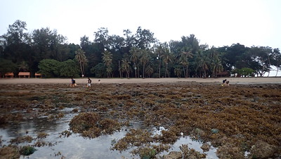 Bloom of Sargassum