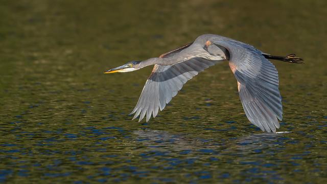 Great Blue Heron  3423