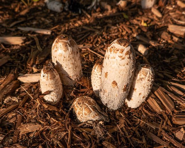 Shaggy Mane mushrooms