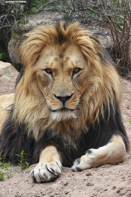 Barbary lion - Zoo Hannover
