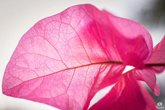 Bougainvillea flower (macro) - Singapore