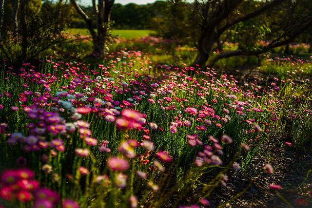 Spring Daisies in Sydney Australia