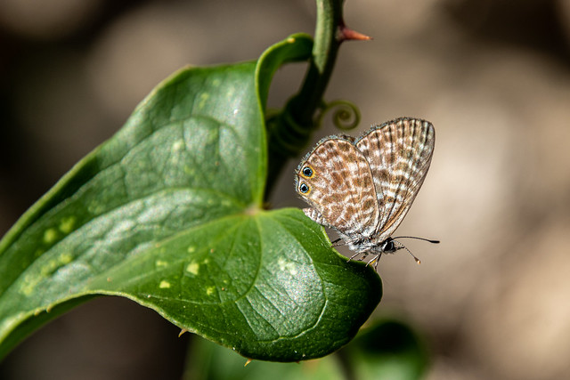 Le petit papillon