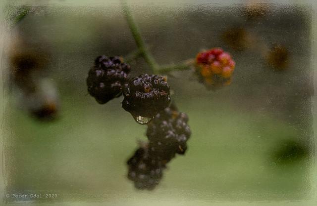 Time for blackberries... V 1