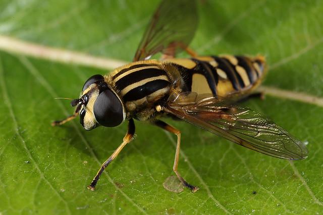 Hoverfly Helophilus pendulus #2
