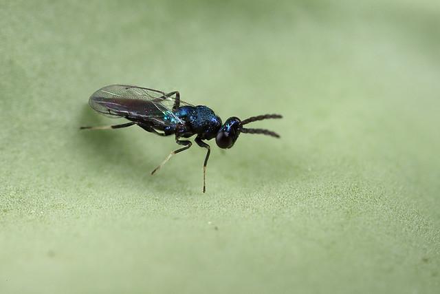 A beautiful little chalcid wasp