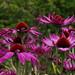 2020 09 08 - Echinacea 1