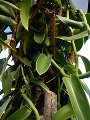 A vanilla orchid growing up a post at the Puerto Vallarta Botanical Garden in Mexico