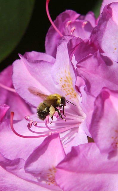 Bumble Bee Among the Rhododendron