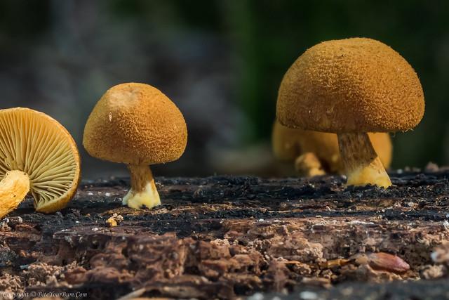 Golden Powdercap Mushroom (Flammulaster limulatus)