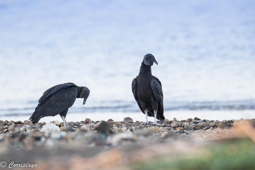 Zopilote negro, American black vulture, Coragyps atratus