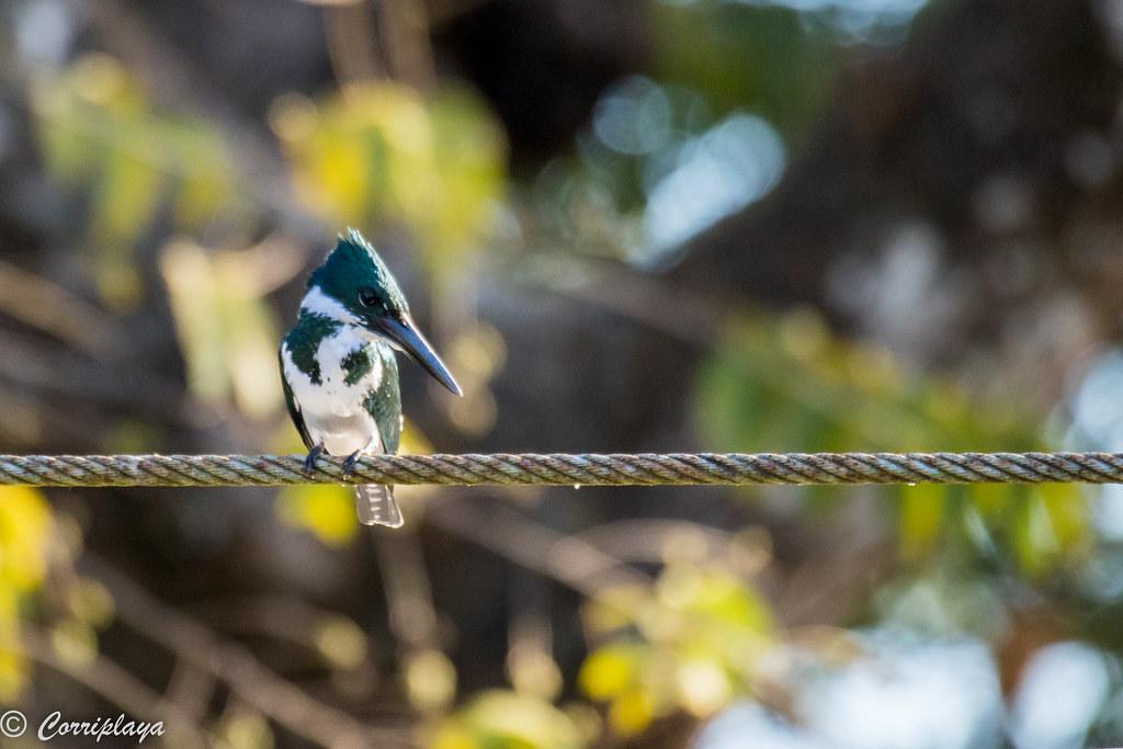 Martín pescador amazónico, Amazon kingfisher, Chloroceryle amazona
