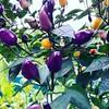 Früchte des Peperonibaums.