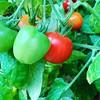 Früchte des Tomatenbaums.