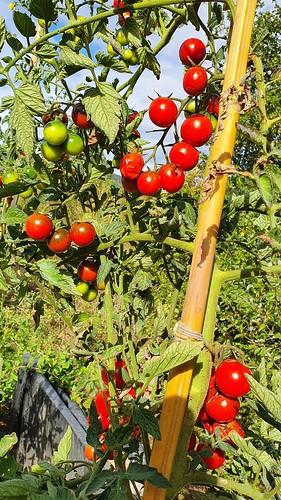 Calabazak eta txerri tomateak