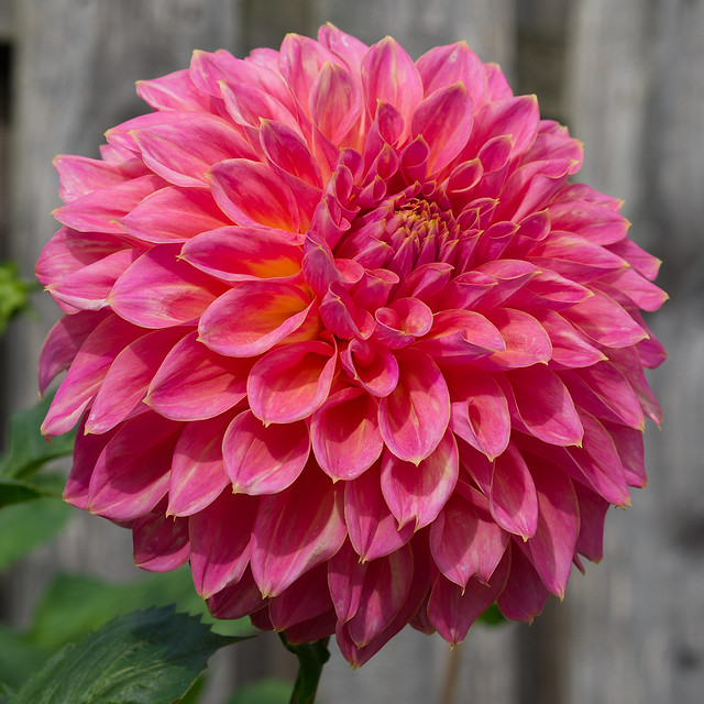 Medium Decorative Dahlia