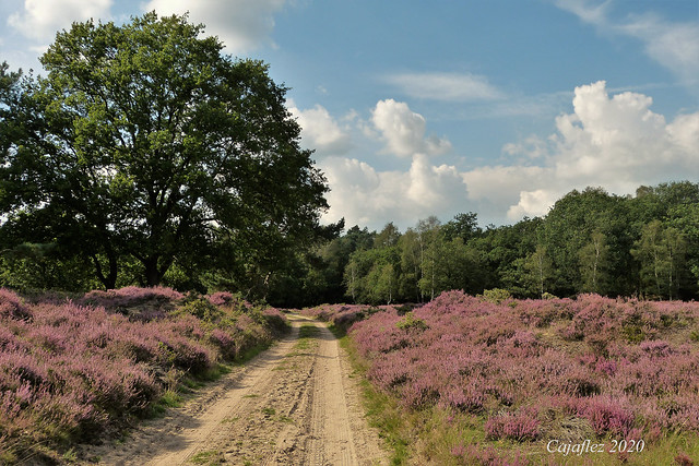 Heide bij Planken Wambuis - Ede.
