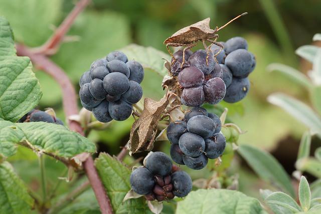 Rubus caesius (Dewberry) and Coreus marginatus (Dock Bug)