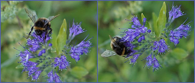 busy bees on caryopteris