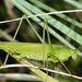 Gemeine Sichelschrecke